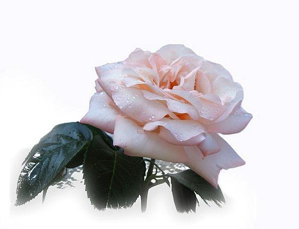 Rose Design Floret Beautiful Lovely Flower Noble H