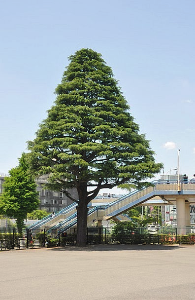 Tree Sapling Landscapes Nature Tokyo Japan Japanes