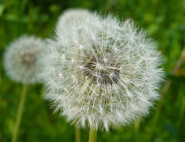 Dandelion Landscapes Countryside Nature Seeds Kern