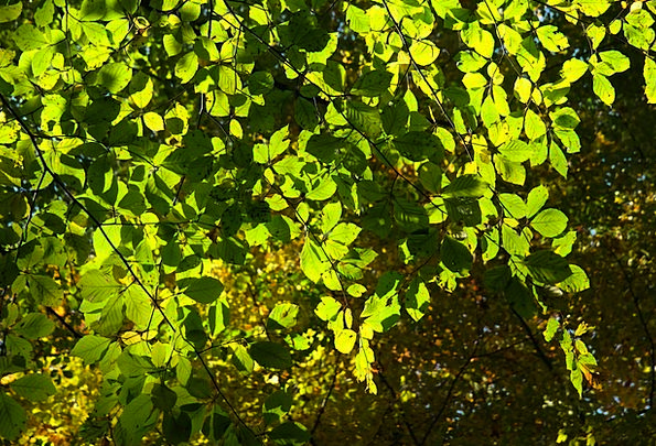 Beech Leaves Greeneries Tree Sapling Leaves Red Bo