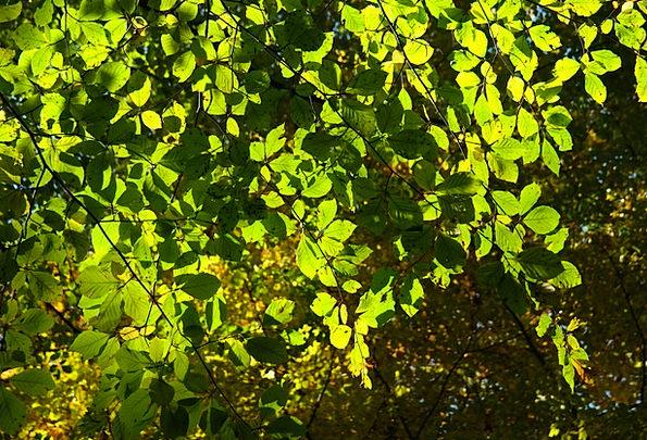 Beech Leaves Greeneries Tree Sapling Leaves Red Bo