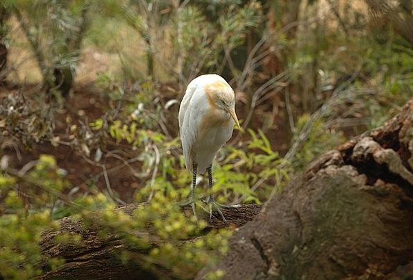 Cattle Egret Fowl Macro Instruction Bird Close-Up