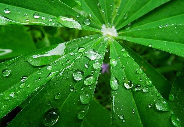 Lupine Volley Raindrops Rain Leaf Foliage Natural