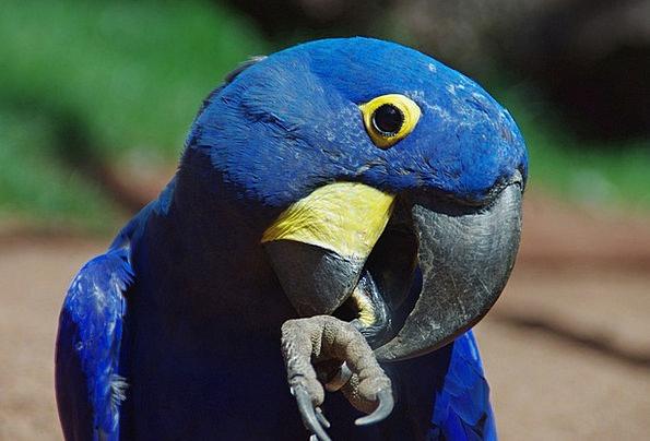 Parrot Imitator Ara Blauara Blue Bird Fowl Bill Pl