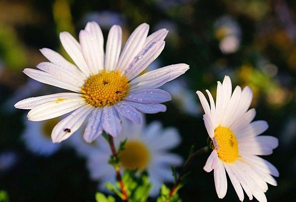 Daisies Landscapes Plants Nature White Snowy Flowe