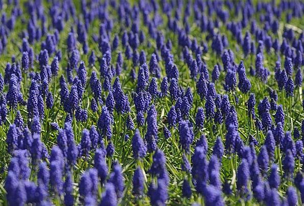 Muscari Landscapes Arena Nature Flower Floret Fiel