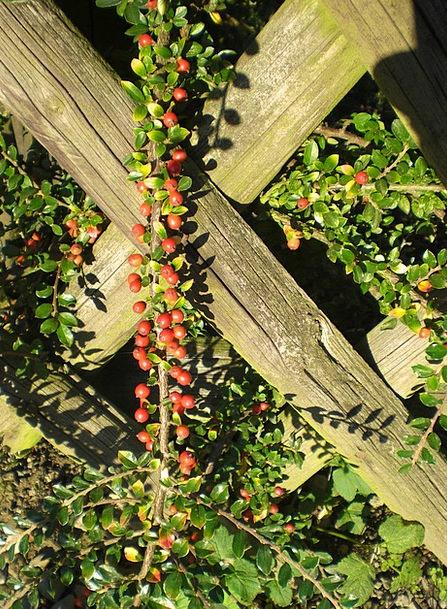 Cotoneaster Landscapes Nature Plant Vegetable Berr