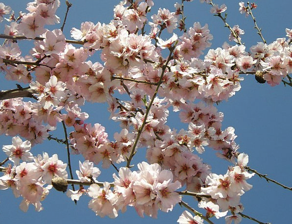 Almond Blossom Plants Pink Flushed Flowers