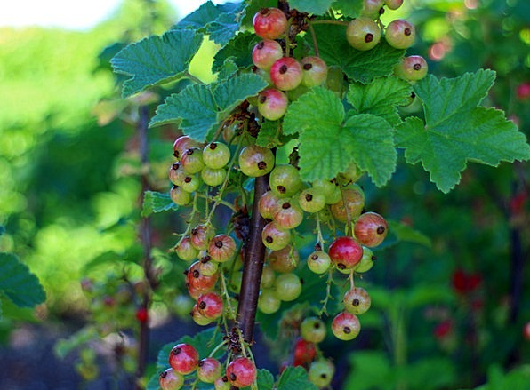 Currants Drink Food Gooseberry Greenhouse Ribes Re