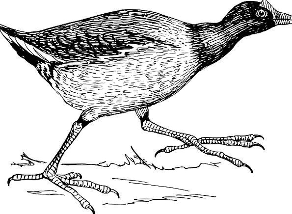 Jacana Fowl Running Consecutively Bird Wings Annex