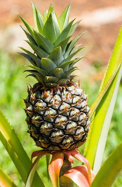 Pineapple Drink Ovary Food Exotic Unusual Fruit