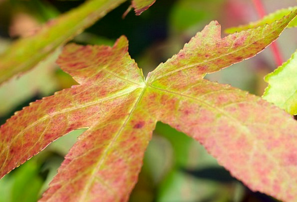 Leaf Foliage Greeneries Red Bloodshot Leaves Green
