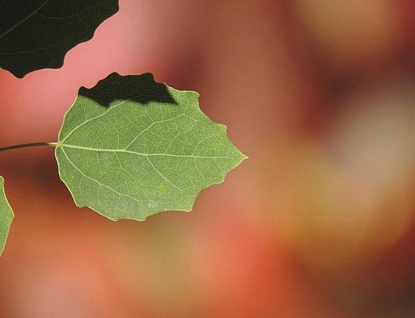 Poplar Landscapes Periodical Nature Autumn Fall Jo