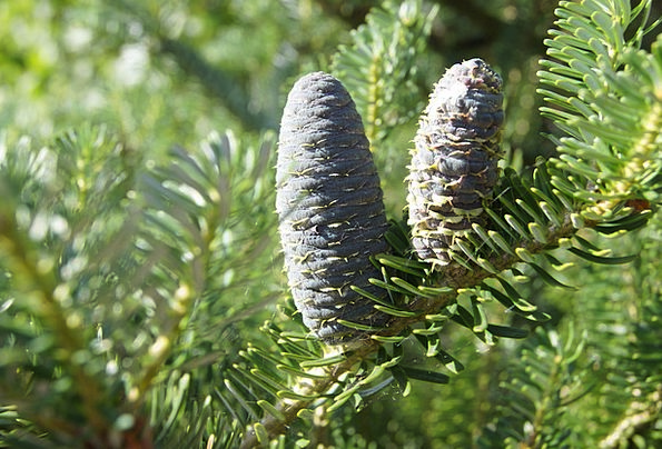Pine Cone Landscapes Long Nature Needles Pointers