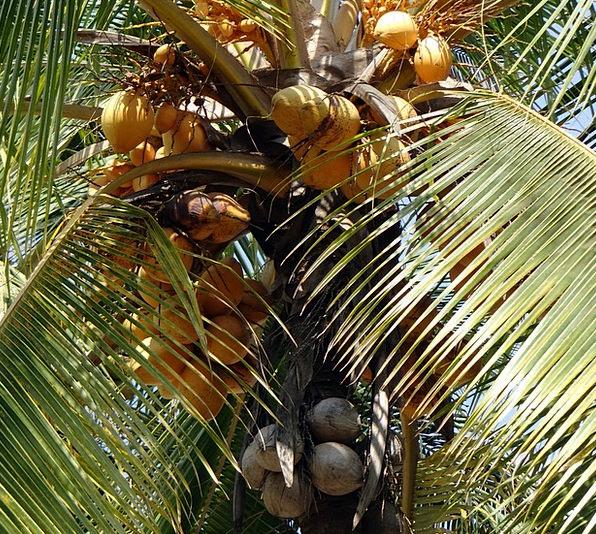 Coconuts Cocos Nucifera Malayan Coconut Tree Cocon