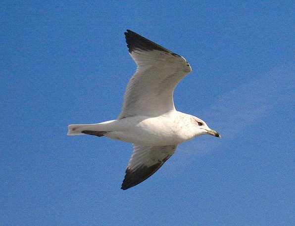 Seagull Fowl White Snowy Bird Blue Flying Hovering