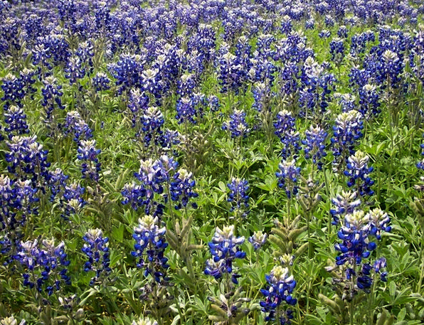 Bluebonnets Landscapes Weeds Nature Field Arena Wi