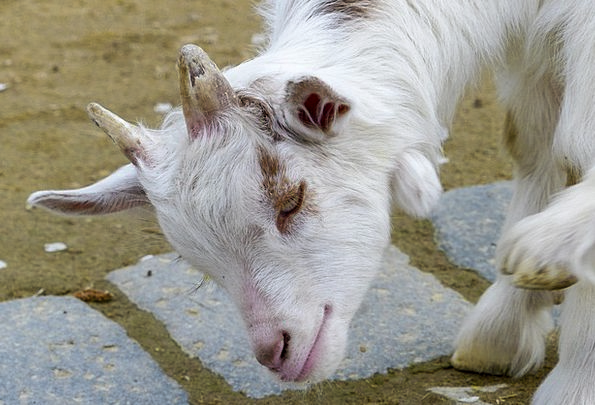 Girgentana Goat Physical Goat Animal Head Livestoc