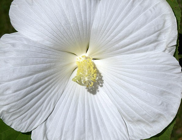 Hibiscus Floret White Snowy Flower Blooming Tropic