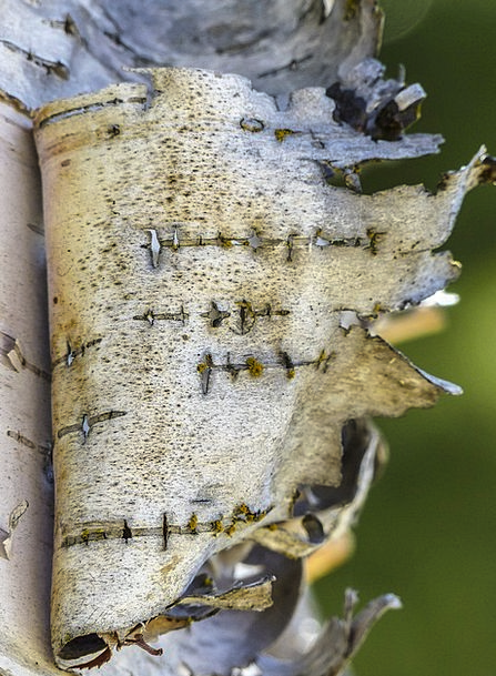 Birch Cane Landscapes Flaking Nature Bark Bay Peel