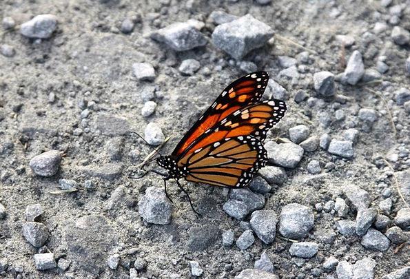 Monarch Butterfly Milkweed Butterfly Butterfly Mon