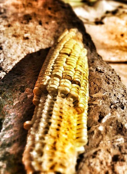 Maize Goo Dry Thirsty Corn Farming Undeveloped Rip