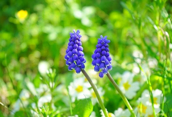 Muscari Floret Blue Azure Flower Spring Coil Bergm