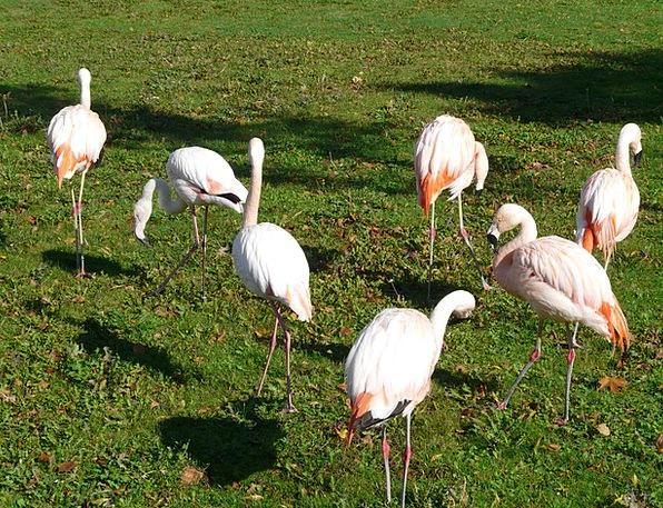 Flamingos Snowy Pink Flushed White Phoenicopterifo