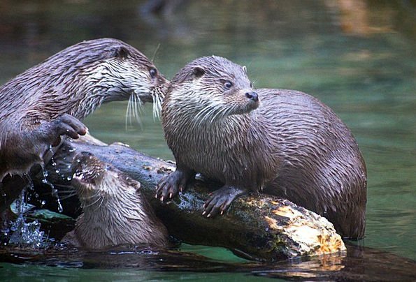Otter Landscapes Faunae Nature Nature Countryside