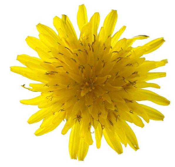 Dandelion Landscapes Instruction Nature Flower Flo