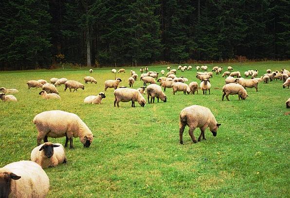 Sheep, Ewe, People, Lamb, Beef, Herd, Meadow, Farm