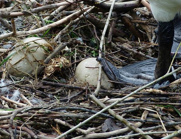 Swan Wander Ovum Nest Shell Egg Breed Type Hatch S