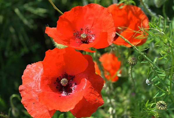 Cornflowers Pointed Flower Red Flowers Flower Flor
