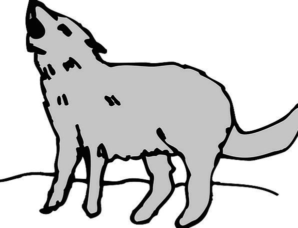 Gray Leaden Physical Coyote Animal Howling Loud Wi