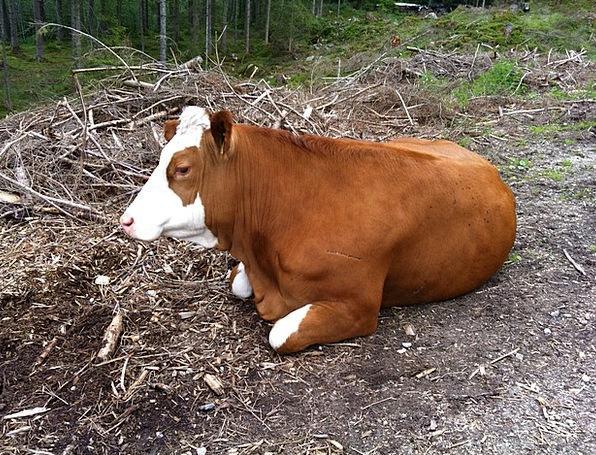 Cow Intimidate Physical Rest Break Animal Nature C