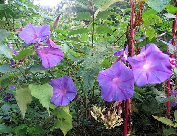 Funnel Thread Breezes Morning Glory Winds Flowers