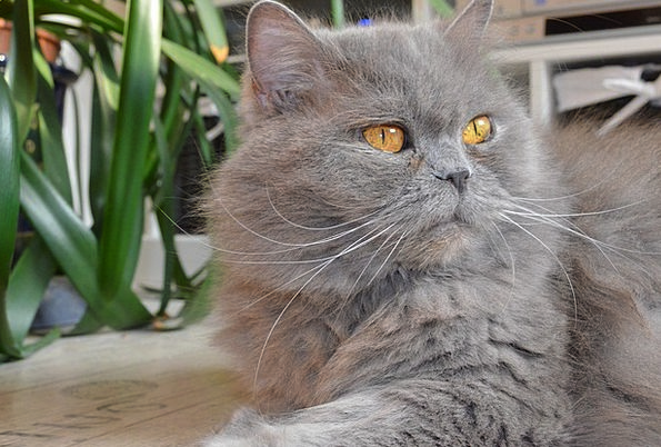 British Longhair Cat Adidas Highlander Domestic Ca