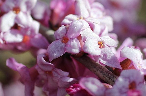 Daphne Harbinger Of Spring Flowering Twig Pink Flo