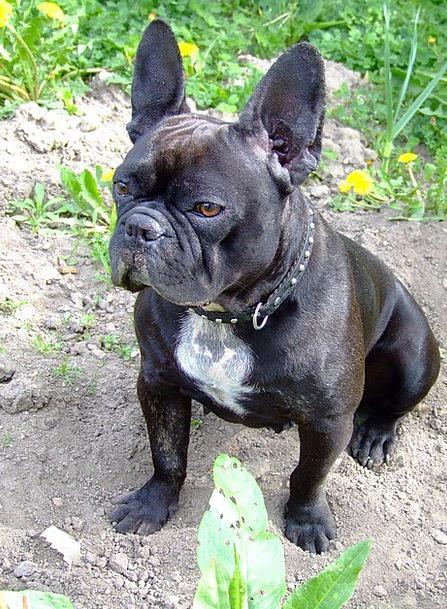 Cool Bulldog Canine Adorable Dog - French-Bulldog-Doggy-Dog-Mould-Free-Image-Adorable-9504  Snapshot_372096  .jpg