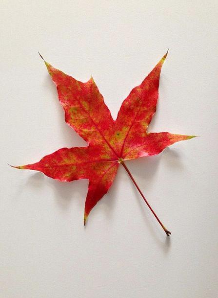 Maple Leaves Landscapes Fall Nature Plant Vegetabl
