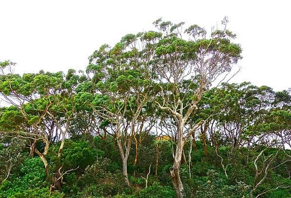 Trees Plants Landscapes Nature Eucalyptus Gumtree