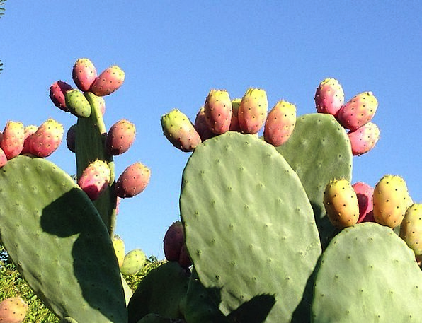 Prickly Pear Landscapes Ovaries Nature Opuntia Fic