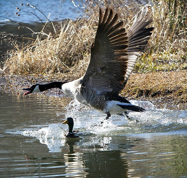 Bird Fowl Being Canada Geese Creature Flying Water