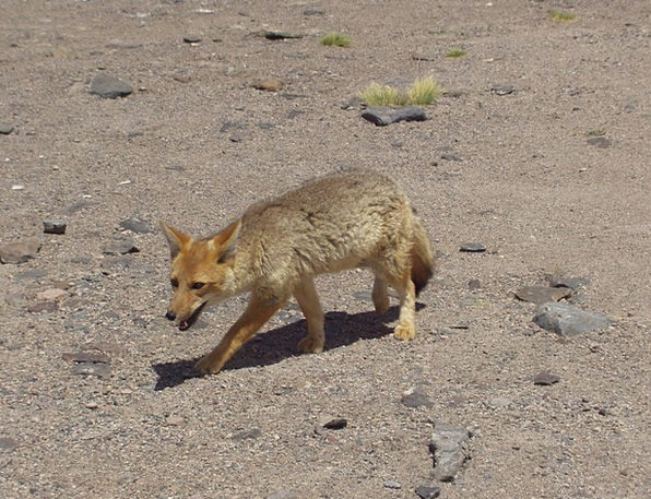 Fuchs Rough Animal Physical Wild Desert Reward Ata