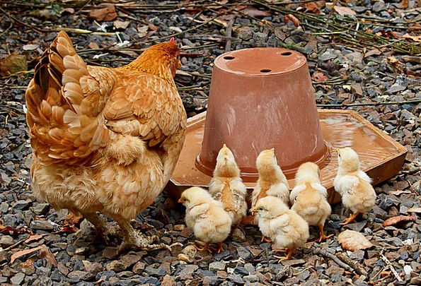 Mother Hen Mother Chicken Cowardly Mom Young New F