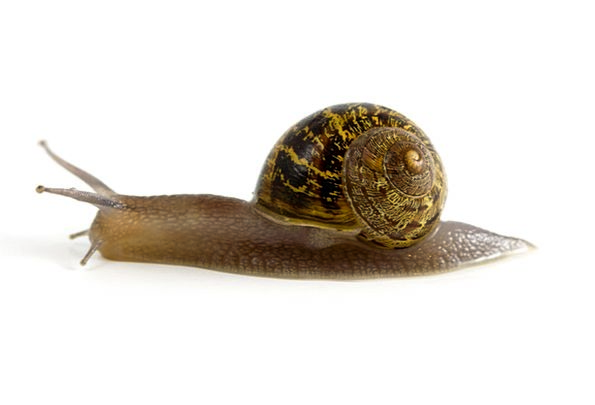 Snail Shell Bomb Mollusk Invertebrate Slow Gastrop