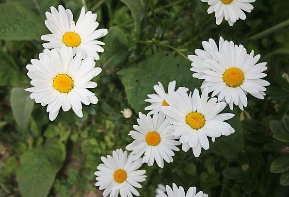 Daisy Flowers Daisies Green Attractive Good-lookin