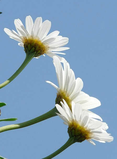 Marguerite Landscapes Nature Tree Daisy Leucanthem