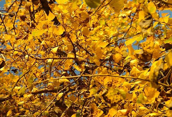 Poplar Leaves Greeneries Autumn Fall Leaves Bastar