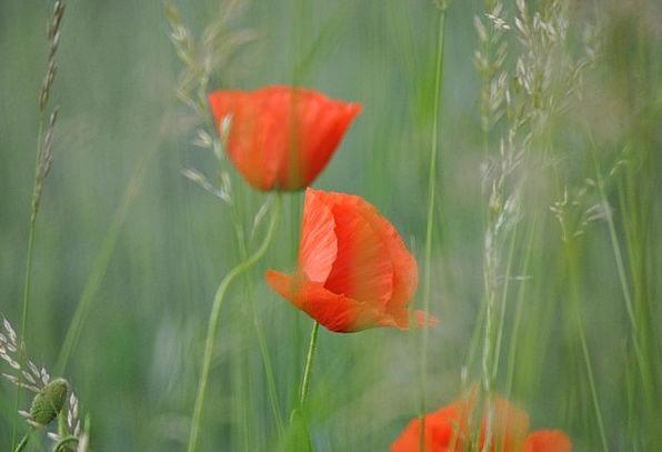 Poppy Landscapes Nature Flower Floret Klatchmohn F